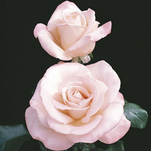 Rose New Zealand C1000