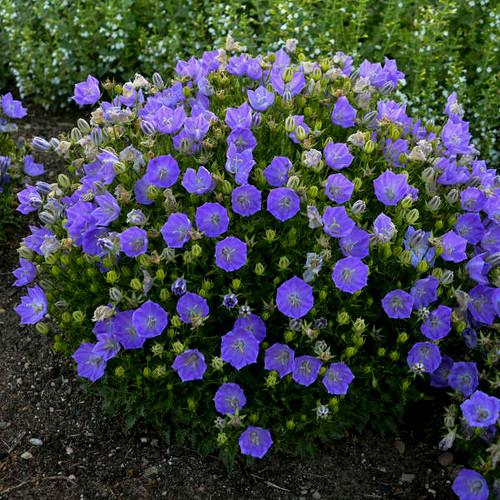 Campanula Rapido Blue