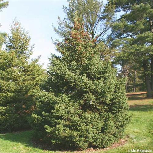 Spruce White
