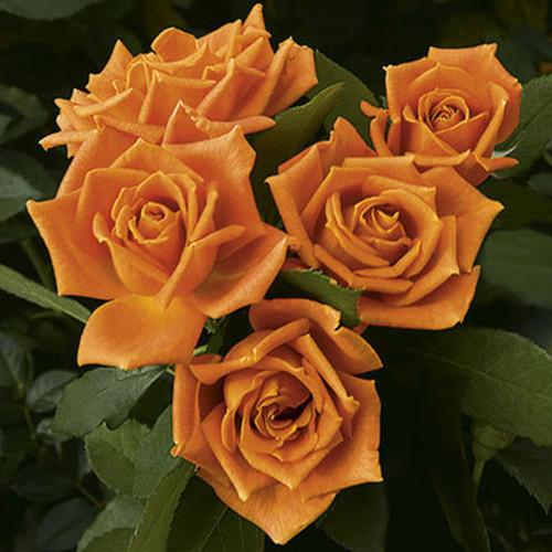 Rose Pumpkin Patch C1000