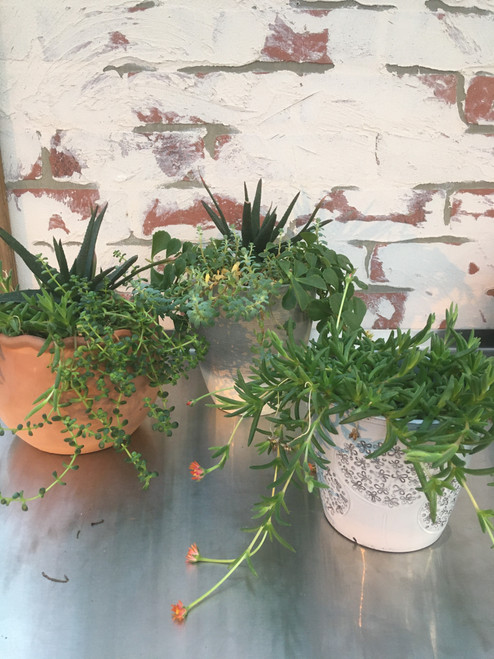 Potted Succulents, Large