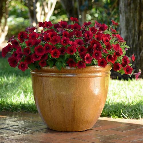 Wave Petunia Red Velour Hanging Basket