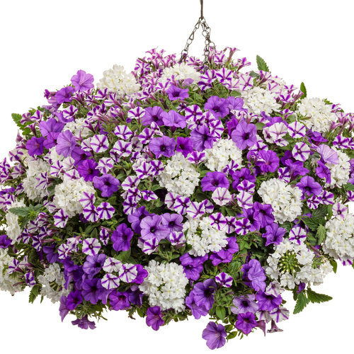 Still Night Combo Hanging Basket **MOTHER'S DAY RELEASE**