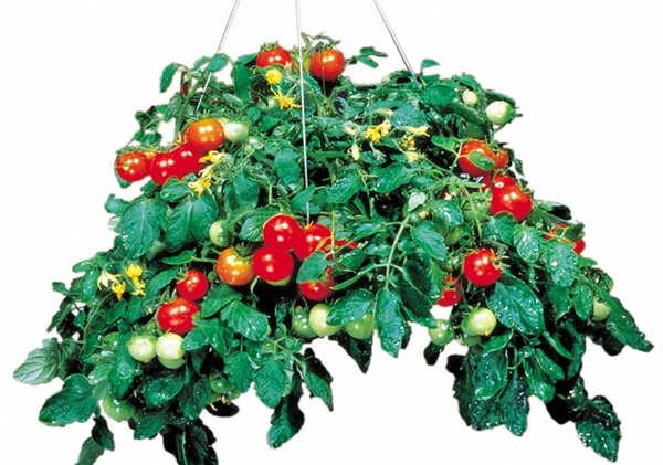 Tomato Tumbler Hanging Basket