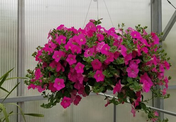 Wave Petunia Pink Hanging Basket **MOTHER'S DAY RELEASE**
