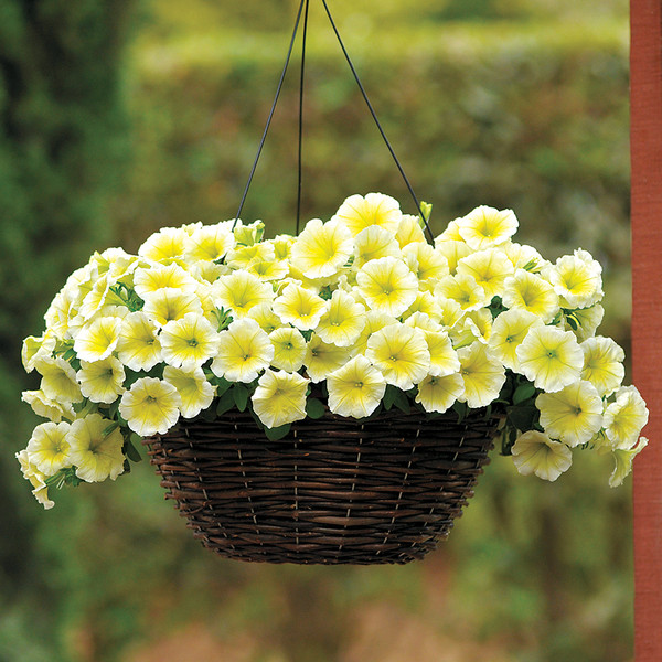 Wave Petunia Yellow Hanging Basket **MOTHER'S DAY RELEASE**