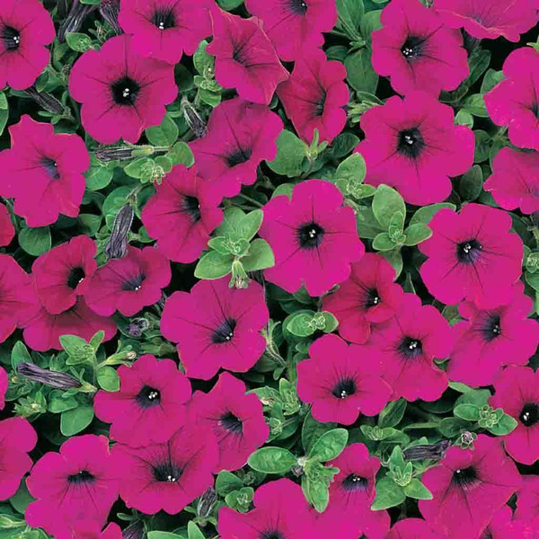 Wave Petunia Purple/Neon Rose Hanging Basket **MOTHER'S DAY RELEASE**