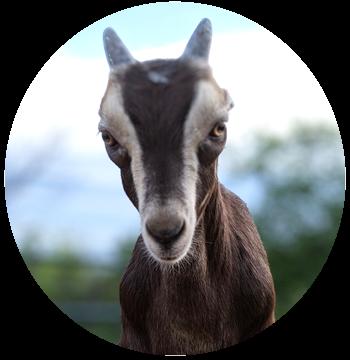 alex-goat.png