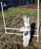 PVC project of a dog agility kit from Klever Cages. This is Ben jumping over his new jump