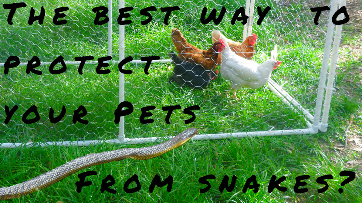 Learn how to protect against snakes for you chickens & cats.