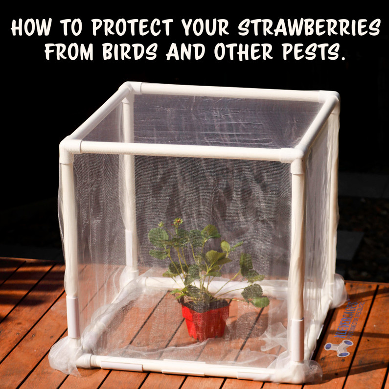 Do you need strawberry protection from birds?