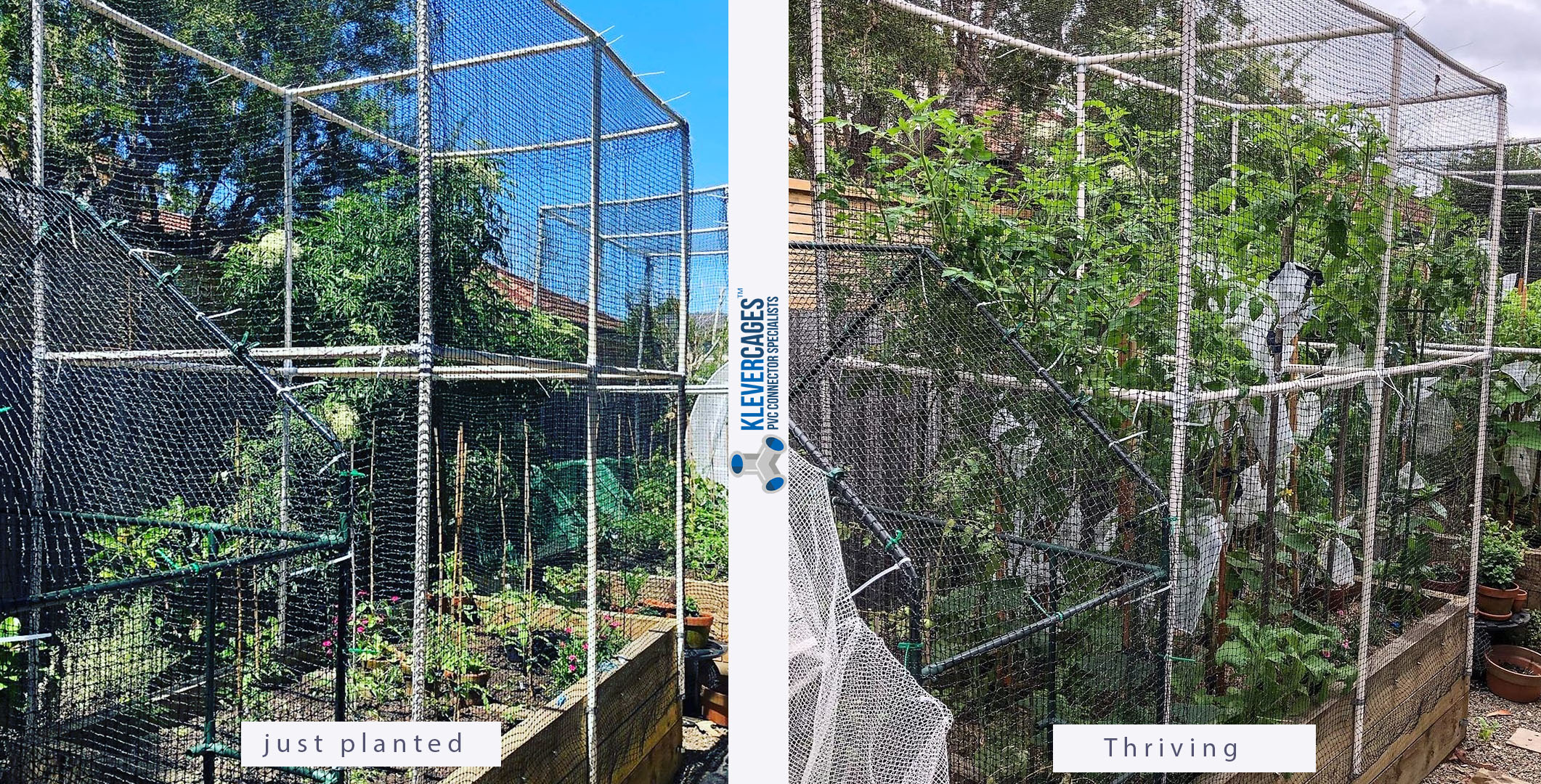 Before and after photos of tomato plants being protected from pests  in an easy to build PVC garden protection frame covered with heavy duty netting attached with snapclamps from Klever Cages