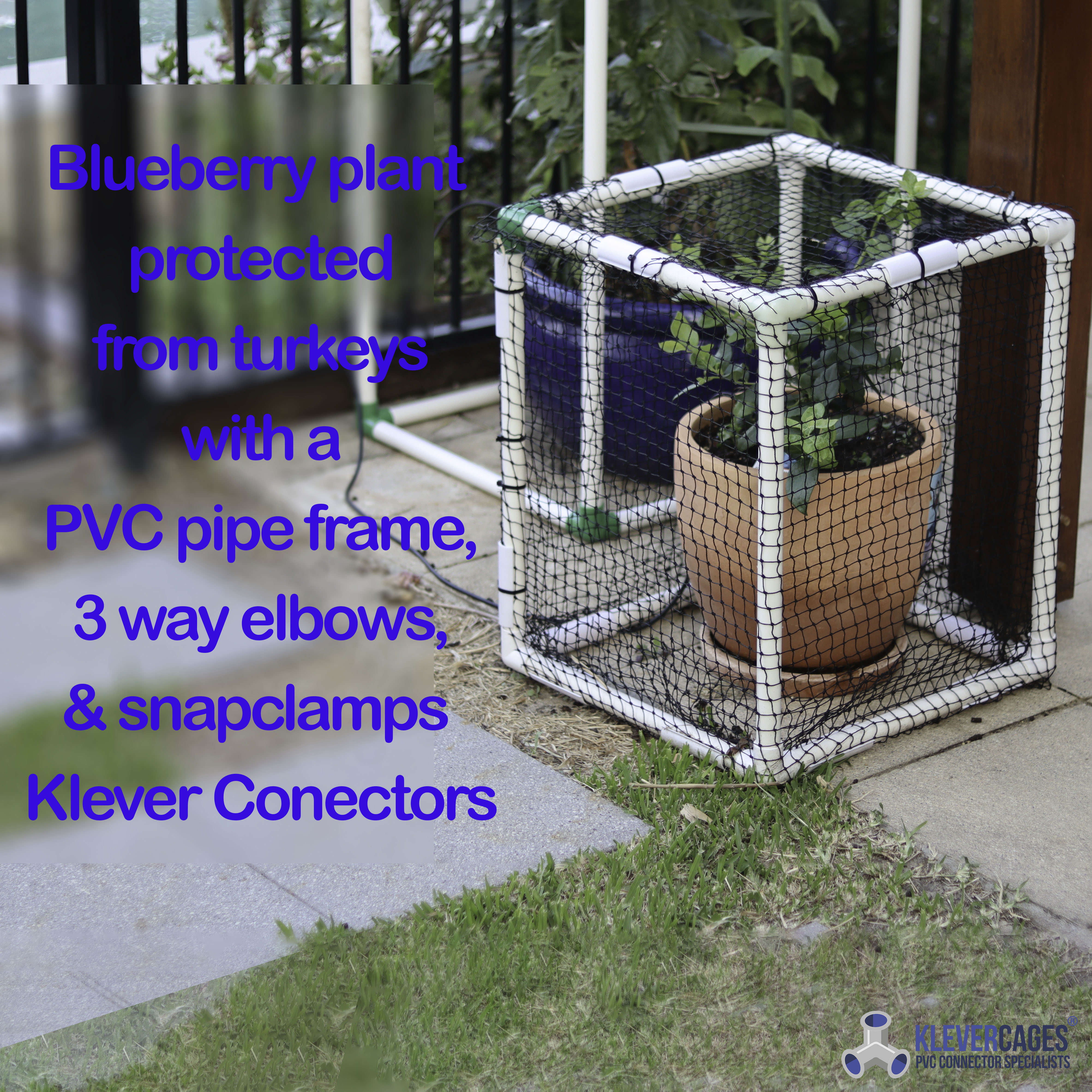 Blueberry bush growing and protected from insects and birds with heavy duty netting supported by PVC pipes and connectors from Klever Cages