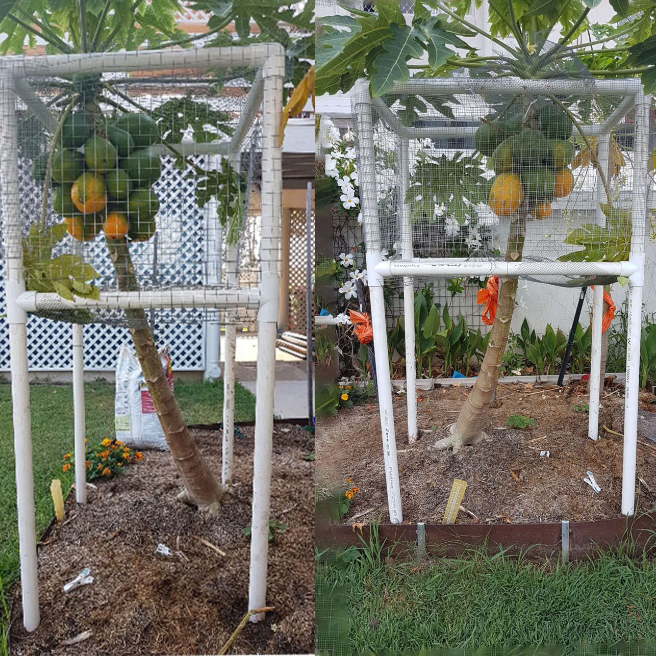 Paw Paw tree protection frame covered with wire mesh to protect against birds