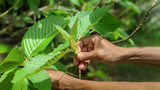 What Is the Difference Between Kanna Vs. Kratom?
