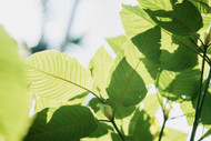 Kratom Strains, Effects, and Measurements
