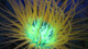 Sea Dragon Fluoro Dual Beam Light - Anemone