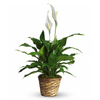 Spathiphyllum, Peace Lily, white, plant