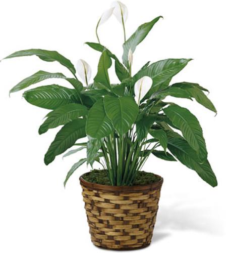 """8"""" Spathiphyllum"""
