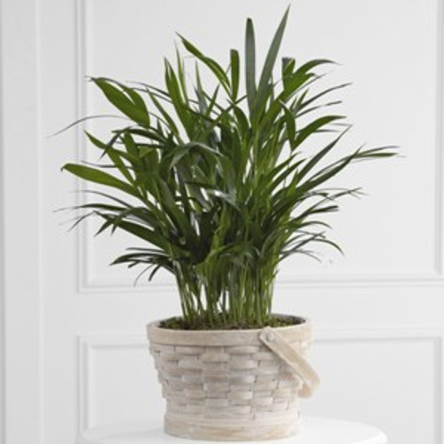 Deeply Adored Palm Planter