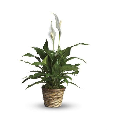 """10"""" Spathiphyllum"""
