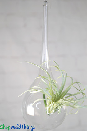 "Teardrop Shaped Hanging Vases - Clear Glass Set Of 6 - 8 1/2"" x 3"""