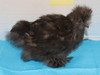 Wing Band 3185 [Black] DNA Sexed Female Bearded Bantam Silkie Chick
