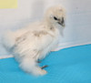 WING BAND [3193] DNA Sexed Female Bearded Bantam Silkie Chick