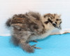 Wing Band 3191 [Partridge] DNA Sexed Female Bearded Bantam Silkie Chick