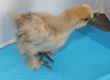Wing Band 3261 [Buff/Partridge] DNA Sexed Female Bearded Bantam Chick