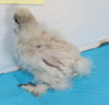 WING BAND 3260 [GREY/WHITE] BEARDED BANTAM SILKIE CHICK