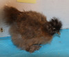 WING BAND 3199 [PARTRIDGE] DNA SEXED BEAXRDED BANTAM SILKIE CHICK