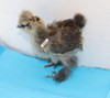 Wing Band 3237 [Partridge] DNA Sexed Female Bearded Bantam Silkie Chick