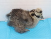 Wing Band 3235 [Partridge] DNA Sexed Female Bearded Bantam Silkie Female Chick