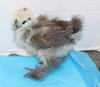 Wing Band 3231 [Partridge] DNA Sexed Female Bearded Bantam Silkie Chick
