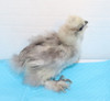 Wing Band 3266 [Grey] DNA Sexed Female Bearded Bantam Silkie Female Chick