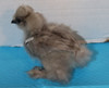 Wing Band 3453 [Grey] DNA Sexed Female Bearded Bantam Silkie Chick