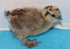 Wing Band 3474 [Partridge] DNA Sexed Female Bearded Bantam Silkie Chick