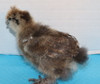 Wing Band 3466 [Partridge] Bearded Bantam Silkie DNA Sexed Female Chick