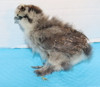 Wing Band 3473 [Partridge] DNA Sexed Female Bearded Bantam Silkie Chick
