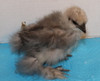 Wing Band 3480 [Grey] Bearded Bantam Silkie DNA Sexed Chick