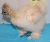 Wing Band 3280 [Beige/White] DNA Sexed Female Bearded Bantam Silkie Chick