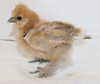 Wing Band 3301 [Partridge] DNA sexed female bearded Bantam Silkie Chick