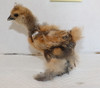 Wing Band 3424 [Partridge] DNA Sexed Female Bearded Bantam silkie Chick