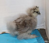Wing Band 3596 [Blue Partridge) DNA Sexed Female Silkie
