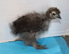 Wing Band 3592 [Dark Partridge] DNA Sexed Female Bearded silkie Chick