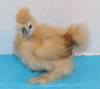 Wing Band 3597 [Buff Partridge] DNA Sexed Female Bearded Bantam Silkiew Chick