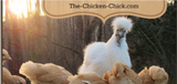 Coccidiosis: What Backyard Chicken Keepers Should Know | The Chicken Chick®