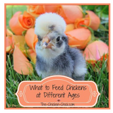Feeding Chickens at Different Ages | The Chicken Chick®