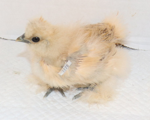 Wing Band 3220 [Buff] DNA Sexed Female Silkie